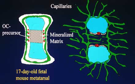 Capillary formation in foetal mouse metatarsals